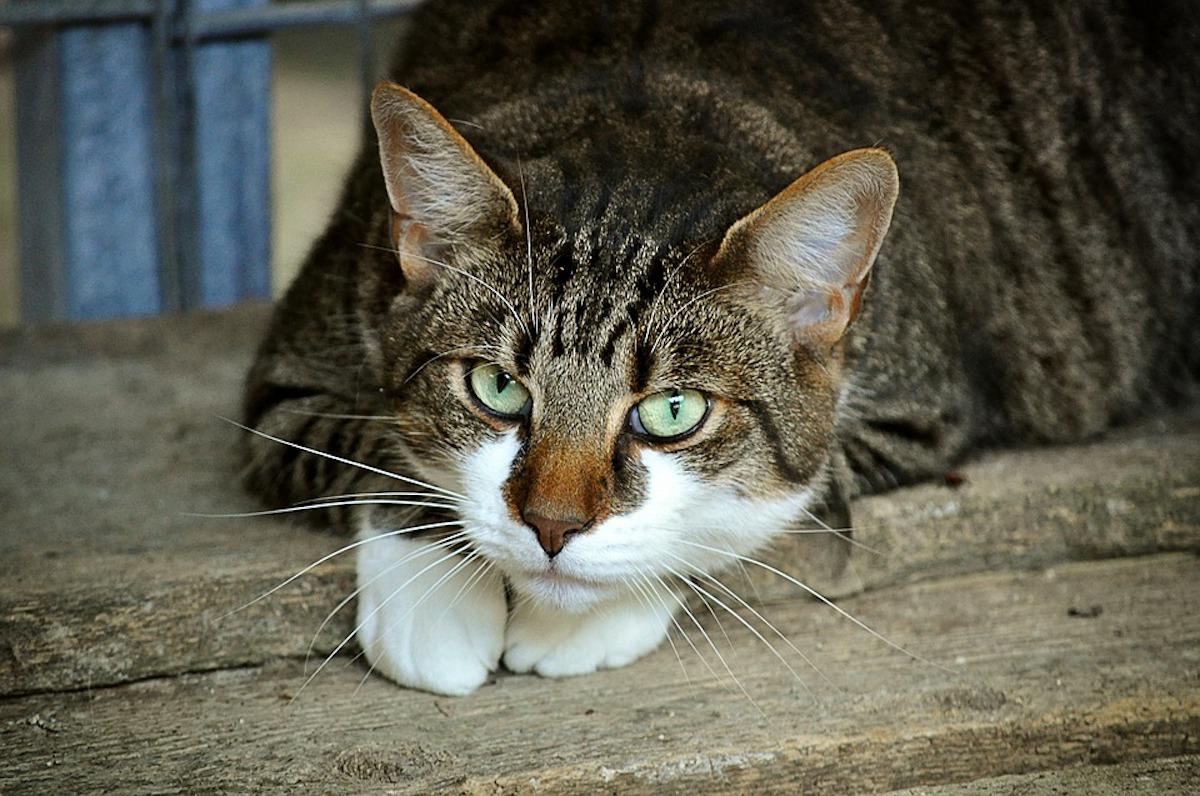 коты дворняги порода