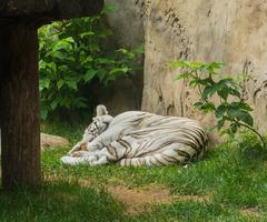Спящий белый тигр