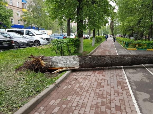Ураган 2017 - вполне здоровое на вид дерево ломается у корня, как спичка