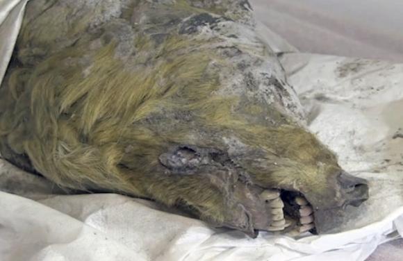 Голова волка, жившего 40 000 лет назад/Twitter