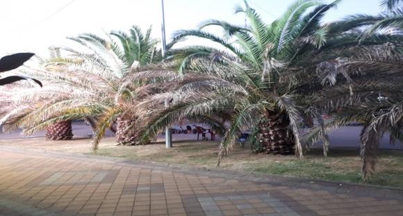 Пальмы в Сочи. 2020 г.