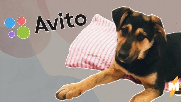 аренда собаки на «Авито»