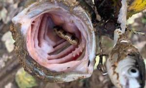 Пугающее зрелище. Но настоящий рыбак не боится ничего! Фото: Tennessee Wildlife Resources Agency