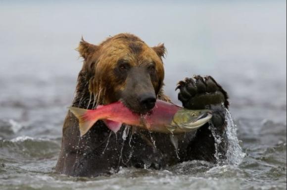 Красная рыба скоро окажется в Красной книге, экологи бьют тревогу