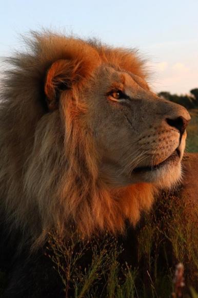 На вырученные от продажи квартиры в Москве деньги он купил в ЮАР львов и остался там